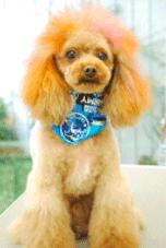 ヘアカラーした犬の写真2