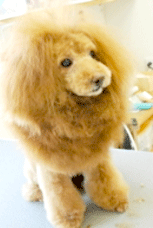ヘアカラーした犬の写真3
